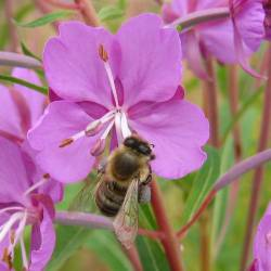 Arctic Honey, flowers and bees
